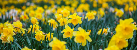 Daffs Royalty Free Stock Photography