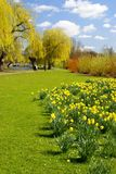 Daffs in the park 2 Royalty Free Stock Photo