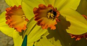 Daffy: Francuscy Daffodils Zdjęcie Stock
