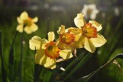 Dafodilbloemen die in de lente bloeien royalty-vrije stock foto