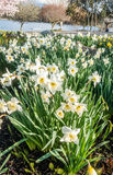 Dafodils  Along Lake Washington Royalty Free Stock Photography