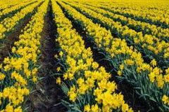 Dafodils in piena fioritura Immagine Stock