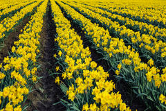 Dafodils in volledige bloei Stock Afbeelding