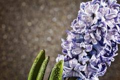 Dag för kvinna` s, mars 8, hyacint, droppar av dagg, grå bakgrund, c Arkivfoto