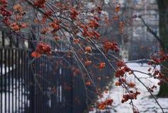dag för snö för vinter för staket för metall för bär för rönnfilial röd utomhus Royaltyfria Foton