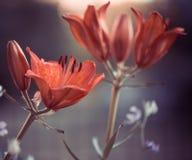 Dag-lilja Arkivbild