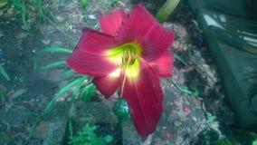 Dag-lilja Arkivfoton