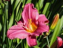Dag Lily Or Hemerocallis In Bloom Royalty-vrije Stock Fotografie