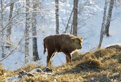 20 dagar kalv av den europeiska bisonen, aurochs Arkivfoton