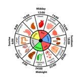 Dagelijks Bioritme van Interne Organen stock illustratie