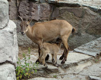 Dagestan goat Capra cylindricornis Royalty Free Stock Image