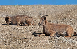 Dagestani mountain goats lie on the ground Stock Photo