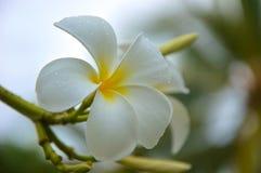 Dagg för friskhet för träd för blom för flora för skönhet för naturblomma vit Royaltyfri Bild