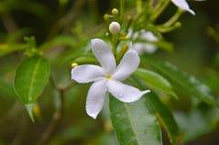 Dagg för friskhet för träd för blom för flora för skönhet för naturblomma vit Arkivbilder
