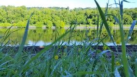Dagg för gräs för morgonsommarflod royaltyfria bilder