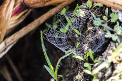 Dagg för spindelrengöringsduk Royaltyfria Foton