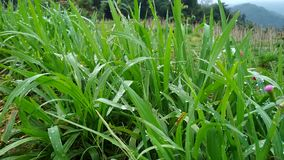 Dagg med nytt grönt gräs som skakas av vinden stock video
