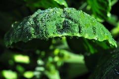 Dagg och Leaf Royaltyfri Fotografi