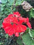 Dagg på blomma Fotografering för Bildbyråer
