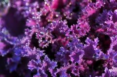 Dagg på den purpurfärgade växten Arkivbilder