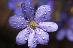 Dagg på en blommaanemon Royaltyfri Bild