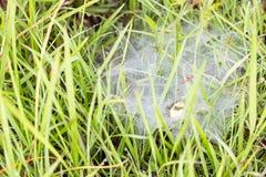 Dagg på gräs- och spindelrengöringsduken i morgonen arkivfoton