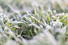 Dagg på gräset med rimfrost Royaltyfria Foton
