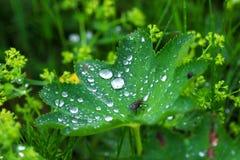 Dagg på leafen Arkivbilder