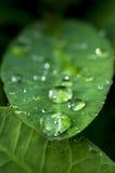 Dagg på leafen Fotografering för Bildbyråer