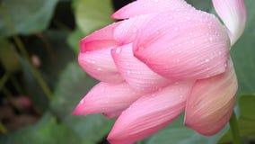 Dagg på lotusblommablomman arkivfilmer