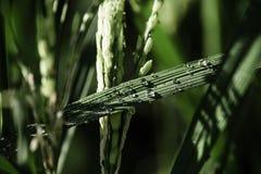 Dagg på risfält Arkivfoton