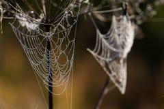 Dagg på spindelrengöringsduk Arkivbilder