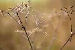 Dagg på spindelrengöringsduk Arkivbild