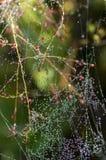 Dagg på spindelrengöringsduk Fotografering för Bildbyråer