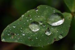 Dagg på växt av släktet Trifoliumbladet Arkivfoto