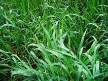 Dagg på vårgräset arkivbilder