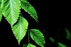 Dagg som dryper av gröna sidor royaltyfria bilder