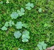 Dagg tappar grön växt av släktet Trifolium med en textask arkivfoton