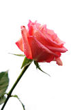 daggdroppar blommar rose Royaltyfri Foto