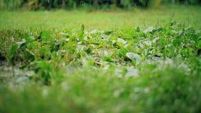 daggdroppar gräs green stock video