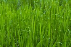 daggdroppar gräs green Arkivfoton