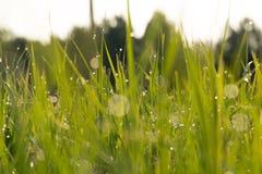 daggdroppar gräs green naturlig sommarwallpaper för abstrakt morgon Royaltyfri Fotografi