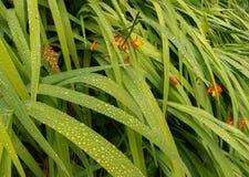 Daggdroppar på blad av Leaves Arkivbild