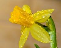 Daggdroppar på blommaknoppar arkivfoton