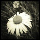Daggdroppar på blomman Arkivfoto