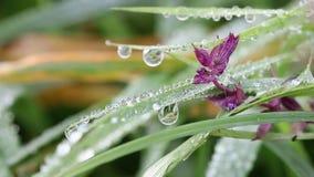 Daggdroppar på blomman och gräs stock video