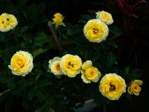 Daggdroppar på den gula Rose Flowers royaltyfria foton