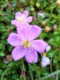 Daggdroppar på den lösa blomman arkivfoton