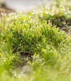 Daggdroppar på det gröna gräset Makro arkivbild
