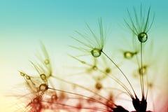 Daggdroppar på frö för en maskros royaltyfria foton